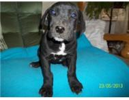 GORGEOUS BLACK GREAT DANE FEMALE
