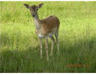 Tame European Hertz for Sale (Bambi Bucks)