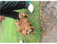 Pedigreed Tan Staffies For Sale NOT REGISTRED