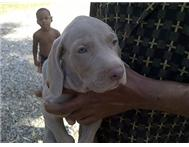 Female Purebred Weimaraner in Dogs & Puppies For Sale North West Rustenburg - South Africa
