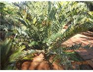 E. Arenarius Cycad for sale.