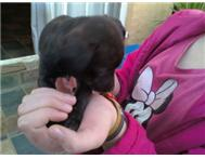 Miniture doberman Pincher cross pup... East Rand