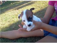 jack-russel puppies for sale