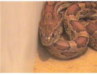 BARGAIN BREEDING PAIR CORN SNAKES PLUS LARGE TANK