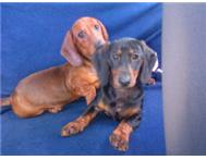 dachshunds puppies (worsies) - 8 weeks old