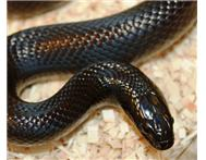 Snake: Black Mexican Kingsnake male