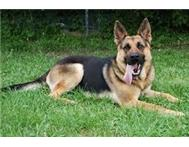 LUKING FOR PUREBRED GERMAN SHEPHARD MALE