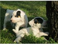 Fox Terrier Pups (long-legged)