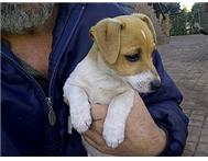 Female Purebred Jack Russell Terrier in Dogs & Puppies For Sale Gauteng Edenvale - South Africa