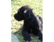 Pure bred Giant Schnauzer Puppies