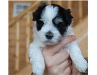 Havanese puppies for great homes