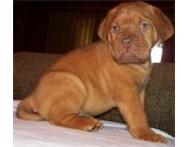 Gorgeous French Mastiff Puppies for sale (Dogue de Bordeaux) Port Elizabeth
