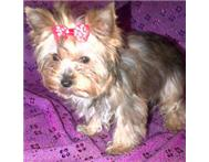 YORKSHIRE TERRIER FEMALE