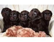 Chocolate labrador retriever puppies for sale Alberton