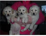 Pretty Golden Retriever puppies Both (Male & Females) Johannesburg Gauteng