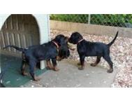 Quality Gordon setter puppies now ready for sale ! East London