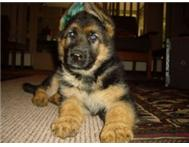 German Shepherd puppies for sale (with own Pedigrees)