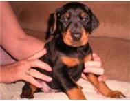 Doberman puppies available and ready for their new homes