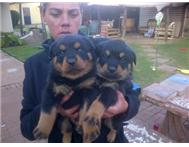 Rotweiler puppies for sale West Rand