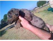 Great dane puppies!!!!!!!!