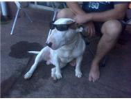 4yr Old Male BULLTERRIER - FREE to GOOD LOVING HOME