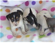 Adorable Rat Terrier puppies for loving homes