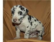 Great Dane Puppies. Very Big excep... Johannesburg