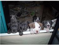 Pitbull Puppies now available