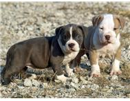 Purebred Pitbull puppies for sale