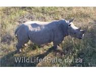 Rhino Bulls for sale - 10 to 12 years old