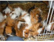 Rats hamsters rabbits &guinea pigs available at THE REAL MCKOI