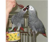 Cute African grey Parrots For Adoption Free