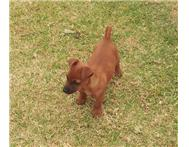 Miniature Pinscher cross for sale