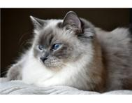 Looking for a Ragdoll or Ragdoll X :)