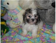 Adorable Havanese puppies