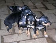 Miniature Doberman Pincher. Black &...