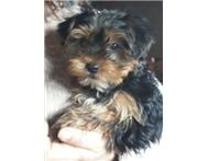 Male & Female Pedigree Yorkshire Terrier in Dogs & Puppies For Sale Gauteng Benoni - South Africa