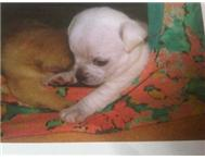 Male Pedigree Chihuahua in Dogs & Puppies For Sale Western Cape Hartenbos - South Africa