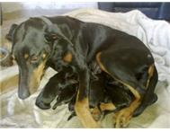 Male & Female Purebred Doberman Pinscher in Dogs & Puppies For Sale Eastern Cape Cradock - South Africa