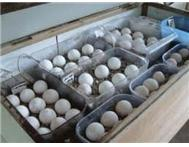 parrot eggs available.