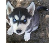 Male & Female Purebred Siberian Husky in Dogs & Puppies For Sale Western Cape Montagu - South Africa