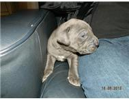 PURE BRED GREAT DANE PUPPIES East Rand