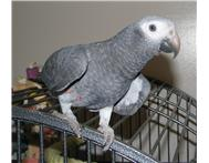 Two Talkaive and playful african grey parrots for free adopt