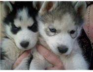 Male & Female Purebred Siberian Husky in Dogs & Puppies For Sale Gauteng Randburg - South Africa