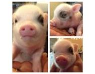 Charming Micro Mini Pigs Available Gauteng