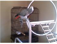 1 year old african grey for sale Free State