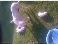 White Labrador puppies for sale.