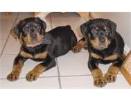 Pure Breed Rottweiler Puppies for sale East London