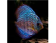 Aquarium Fish Tropical Fish in Fish For Sale Gauteng Mountainview - South Africa