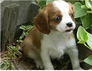 Cavalier King Charles puppies